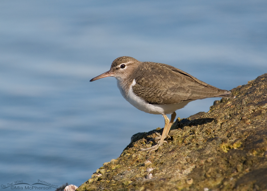 Spotted Sandpiper in nonbreeding plumage - Florida