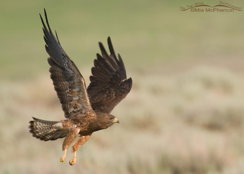 Adult Swainson's Hawk