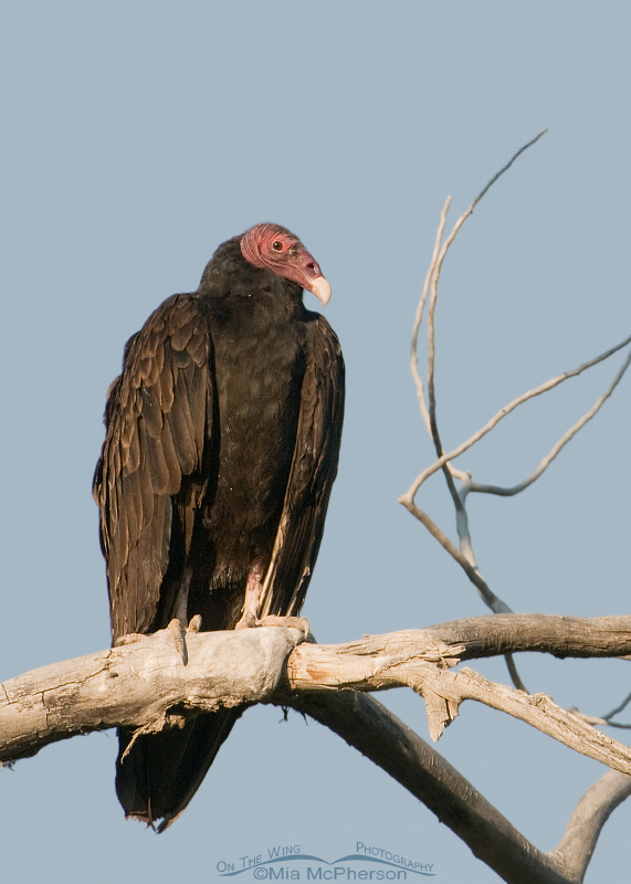 Turkey Vulture with a sky background