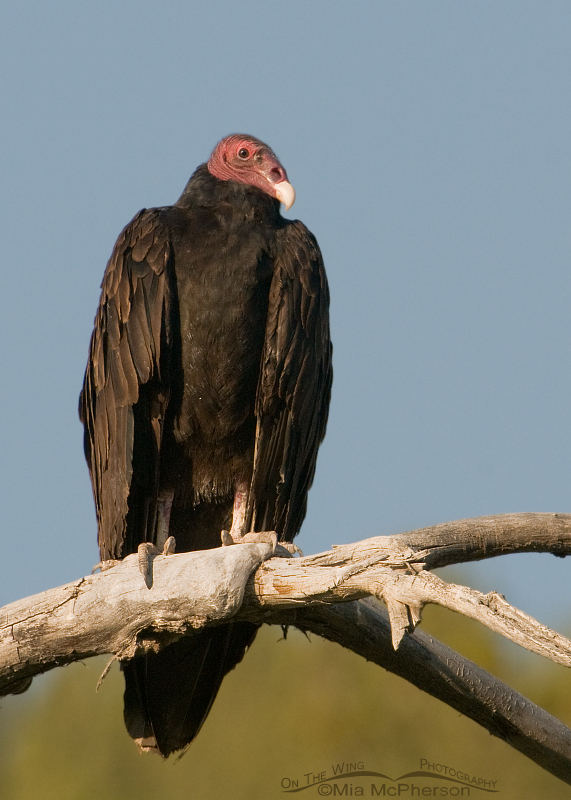 Turkey Vulture with sky and trees in the background
