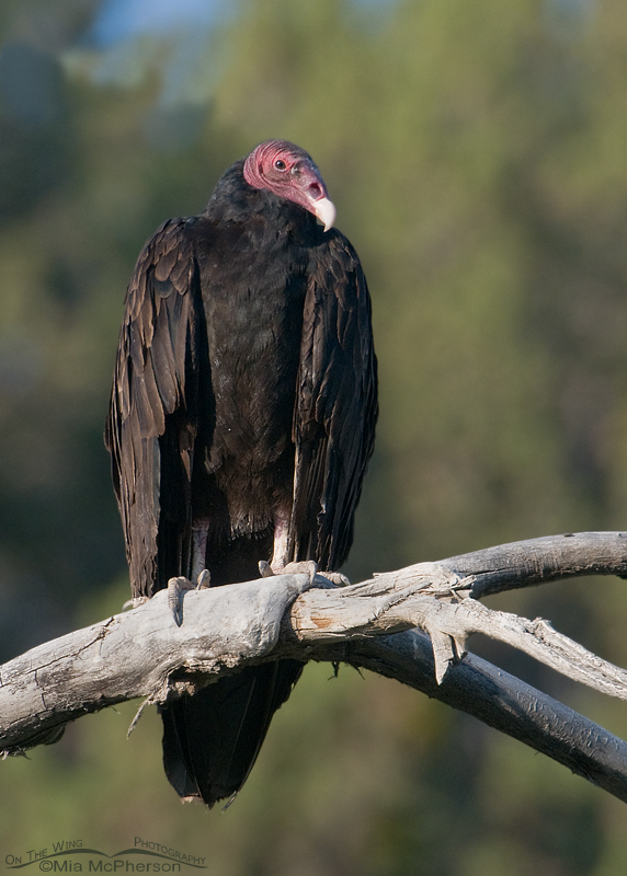 Turkey Vulture with trees in the background