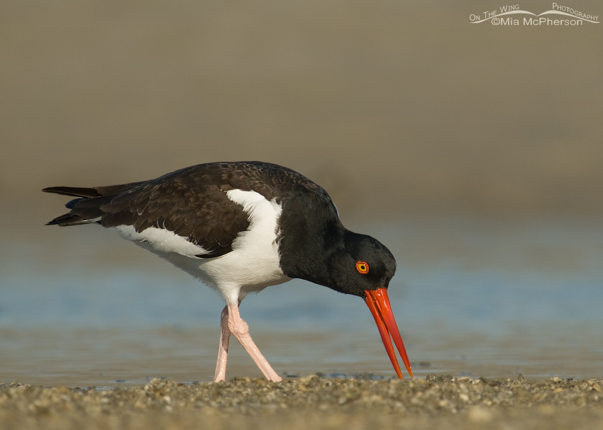 American Oystercatcher foraging at low tide