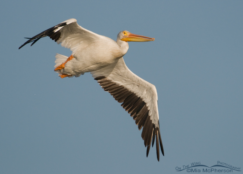 American White Pelican flying past