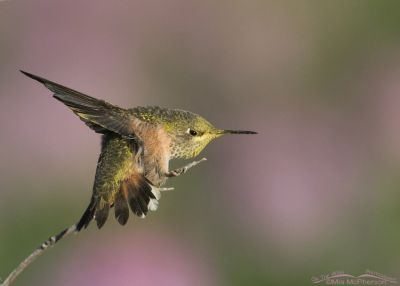 Calliope Hummingbird stretch