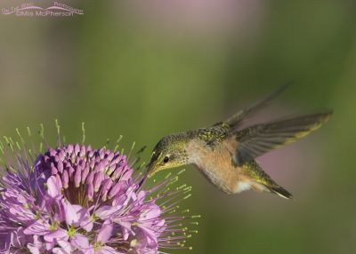 Calliope Hummingbird feeding on Rocky Mountain Bee Plant