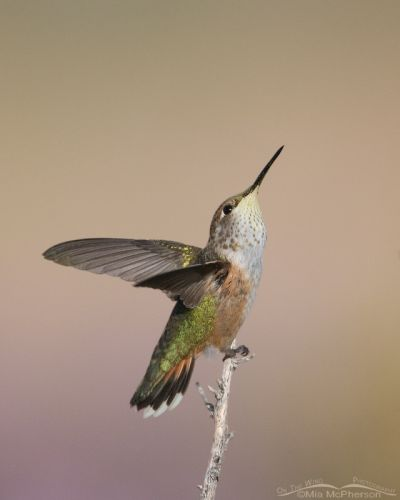 Calliope Hummingbird Looking up