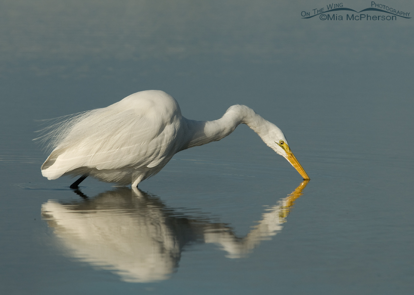 Great Egret hunting in a Florida lagoon