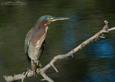 Green Heron at Sawgrass Lake Park