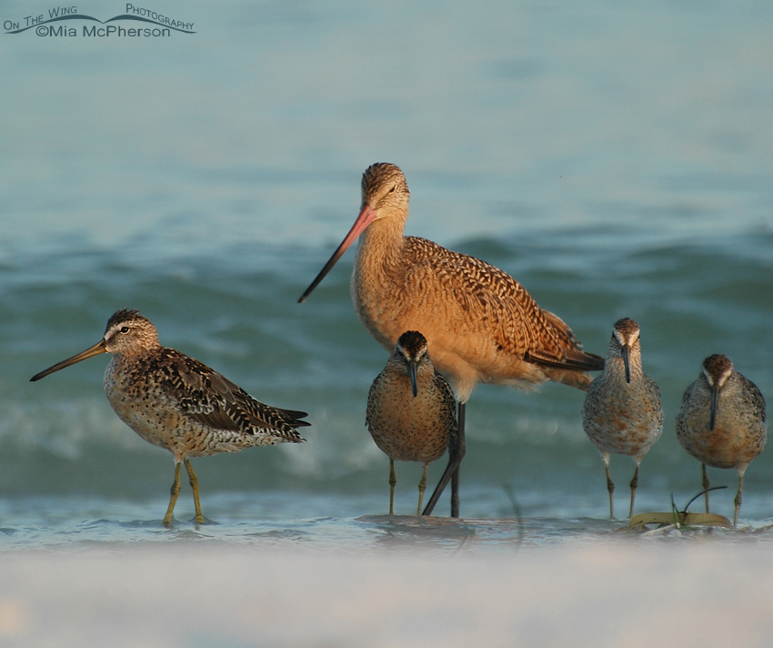 Marbled Godwit and Dowitcher friends
