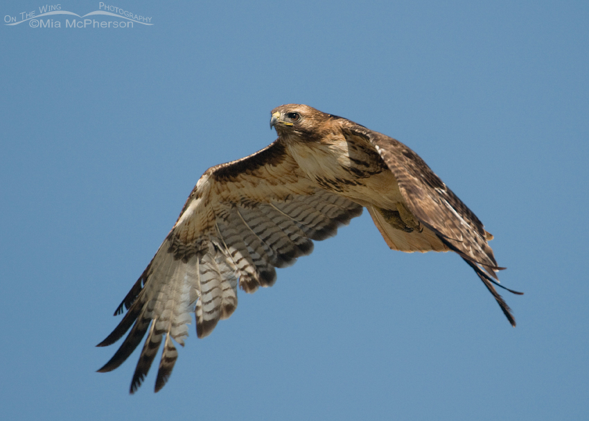 A Ragged Red-tailed Hawk