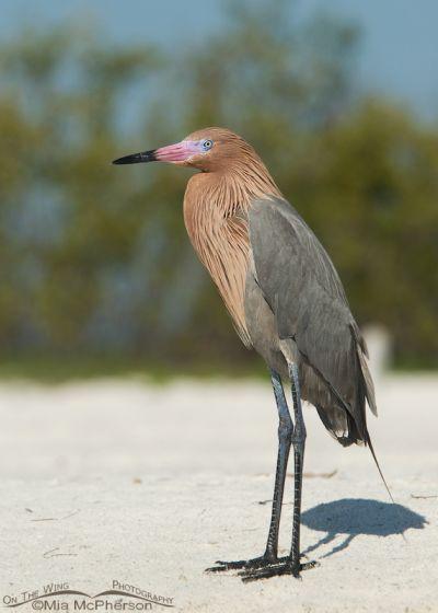 Adult Reddish Egret in breeding plumage