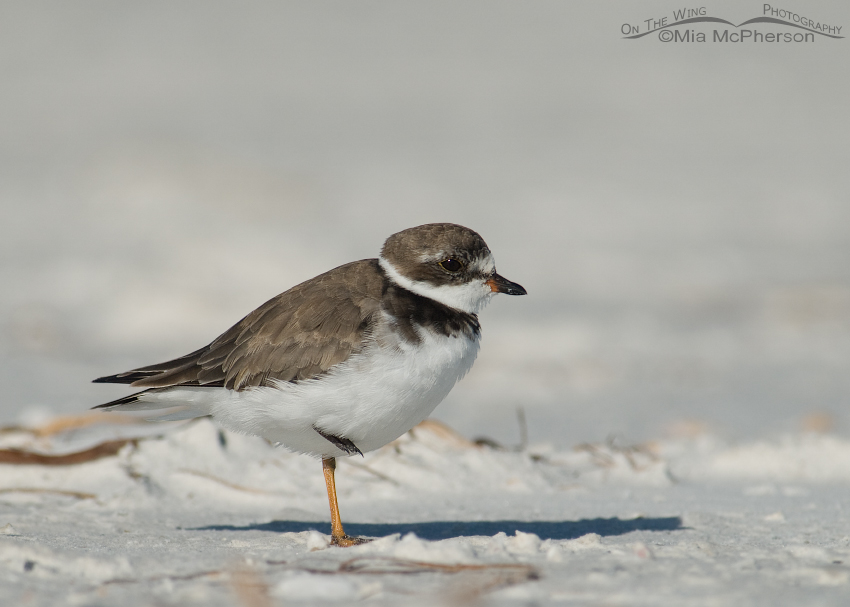 Semipalmated Plover warming in the sun