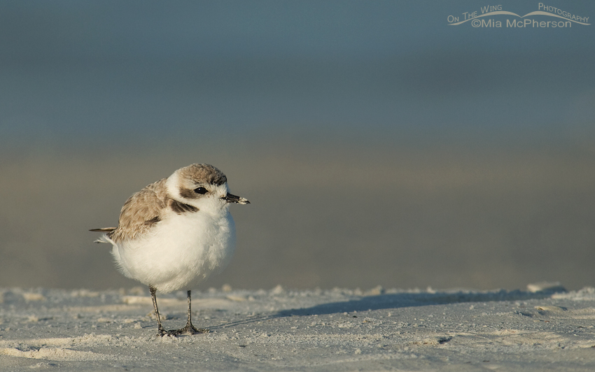 Sunrise Snowy Plover, Fort De Soto County Park, Pinellas County, Florida