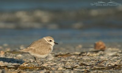 Snowy Plover in seashells