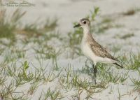 Black-bellied on a grassy dune