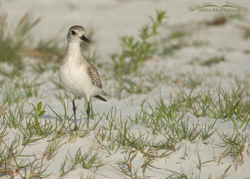 Black-bellied Plover on a small dune