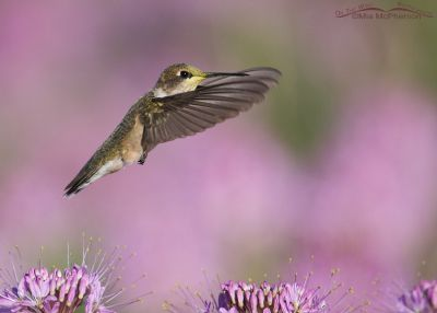 Pretty in Pink - Black-chinned Hummingbird