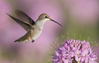 Young Female Black-chinned Hummingbird