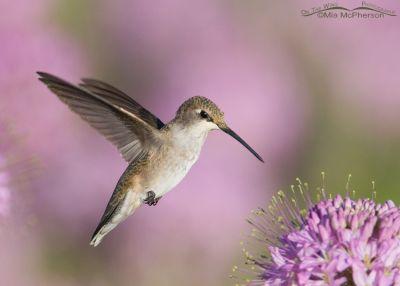 Black-chinned Hummingbird -Flying jewel