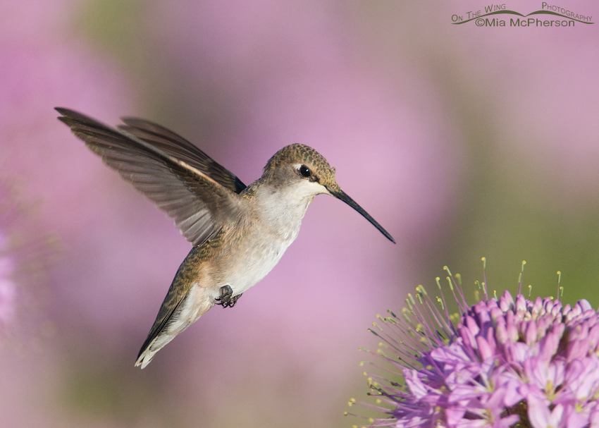 Black-chinned Hummingbird -Flying jewel