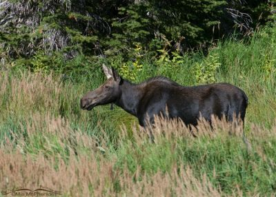 Moose cow near a beaver pond