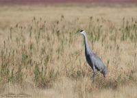 """Unstained"" adult Sandhill Crane"