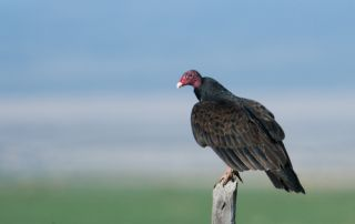 Adult Turkey Vulture getting ready to lift off