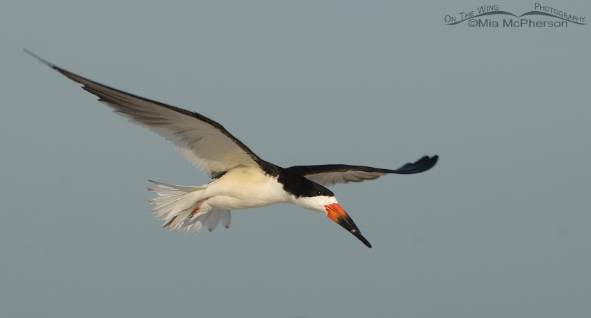 Adult Black Skimmer in flight over the Gulf