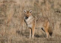 Coyote on Antelope Island State Park