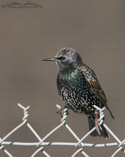 European Starling on a chain link fence