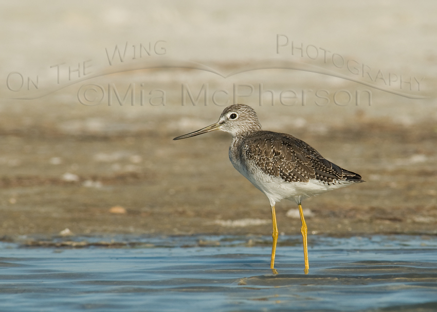 Greater Yellowlegs with large copyright watermark