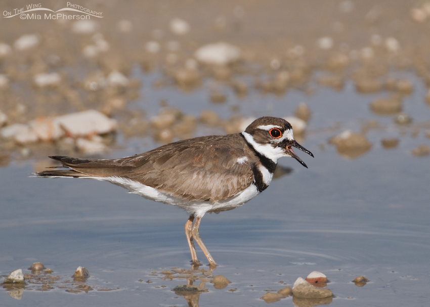 Killdeer calling at Farmington Bay WMA