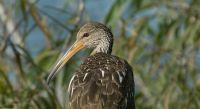 Limpkin in Lakeland