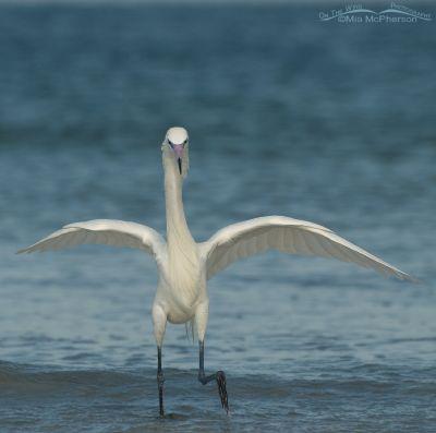 White morph Reddish Egret on the hunt