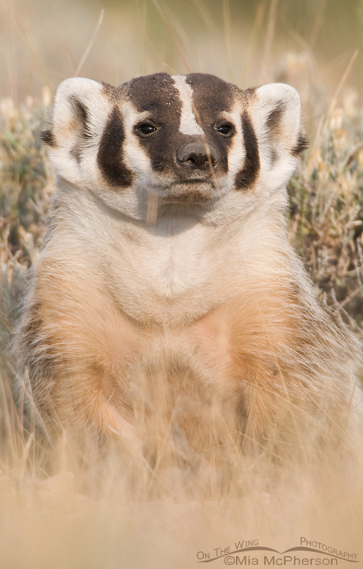 Curious American Badger