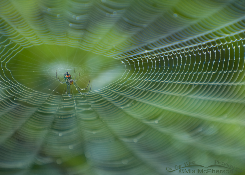Venusta Orchard Spider Images