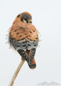 Male American Kestrel in low light and snow