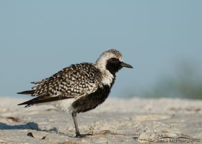 Fluffy Black-bellied Plover in breeding plumage