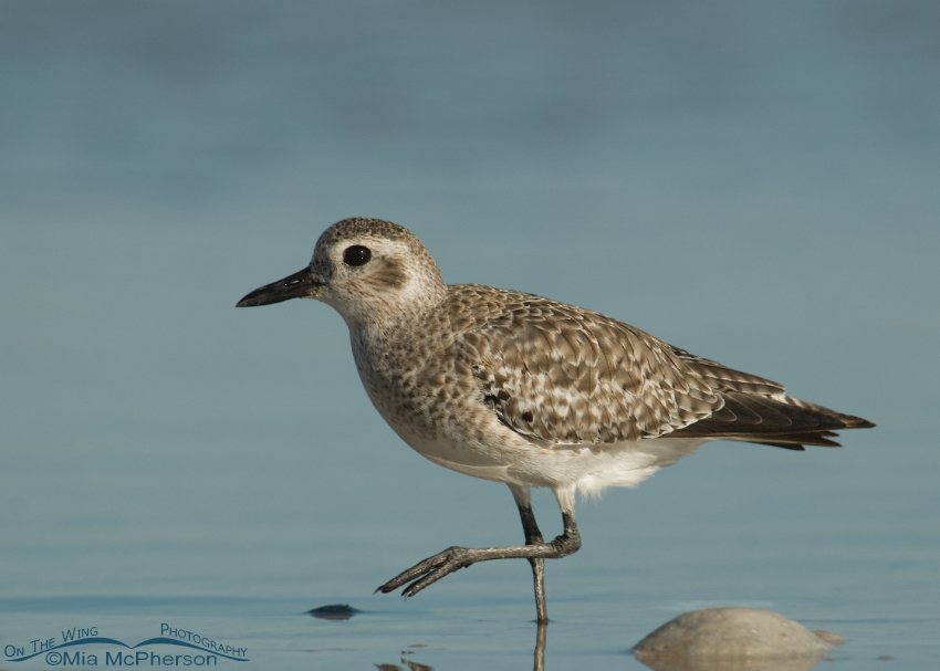 An adult Black-bellied Plover in a lagoon