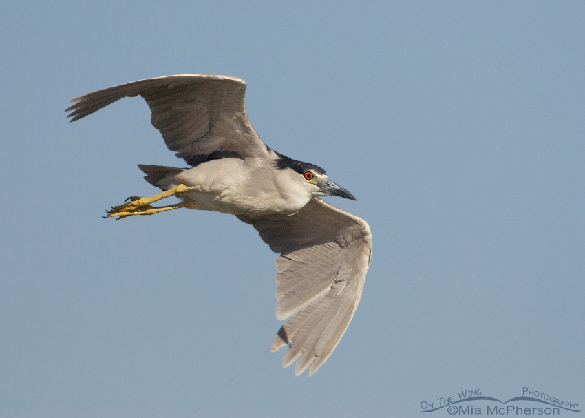 Adult Black-crowned Night Heron in flight