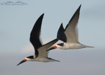 Black Skimmers in Flight over Fort De Soto's north beach
