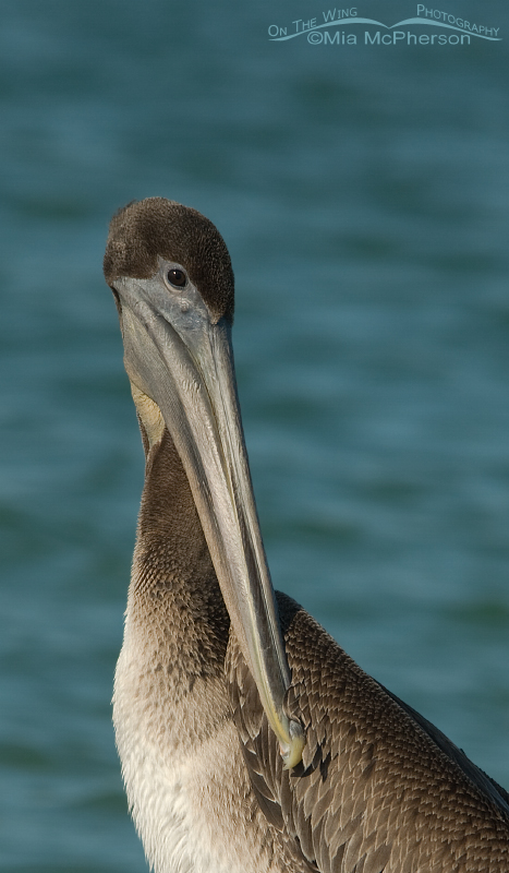 Juvenile Brown Pelican close up