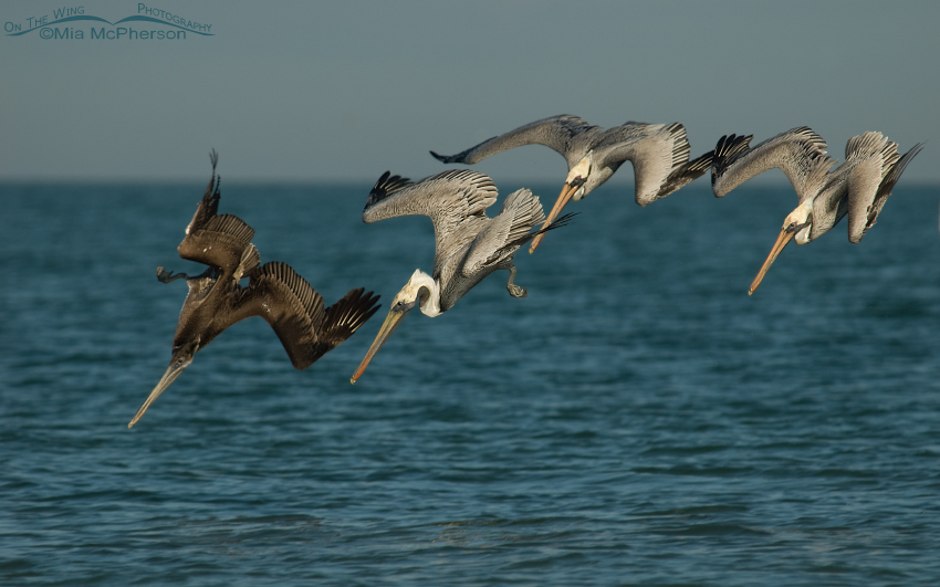 Brown Pelican Images