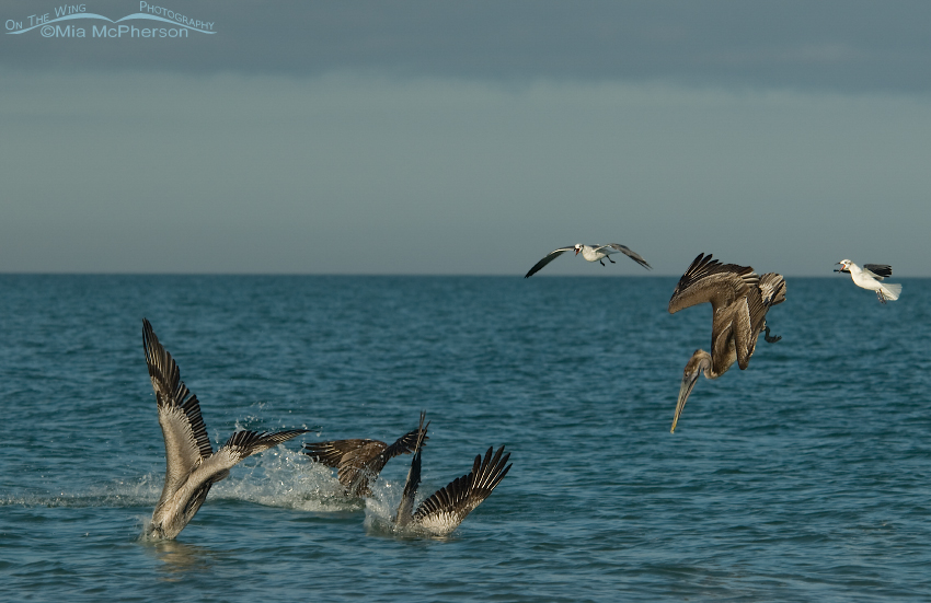 Brown Pelicans hitting the water