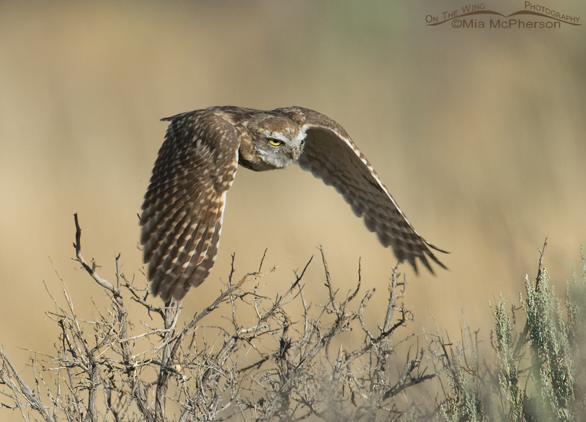 Juvenile Burrowing Owl lift off