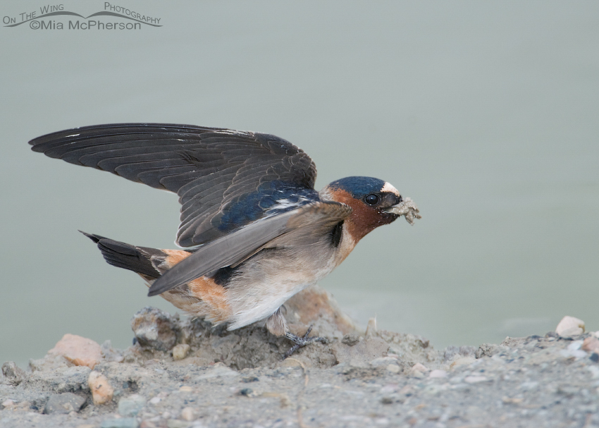 Cliff Swallow with nesting material