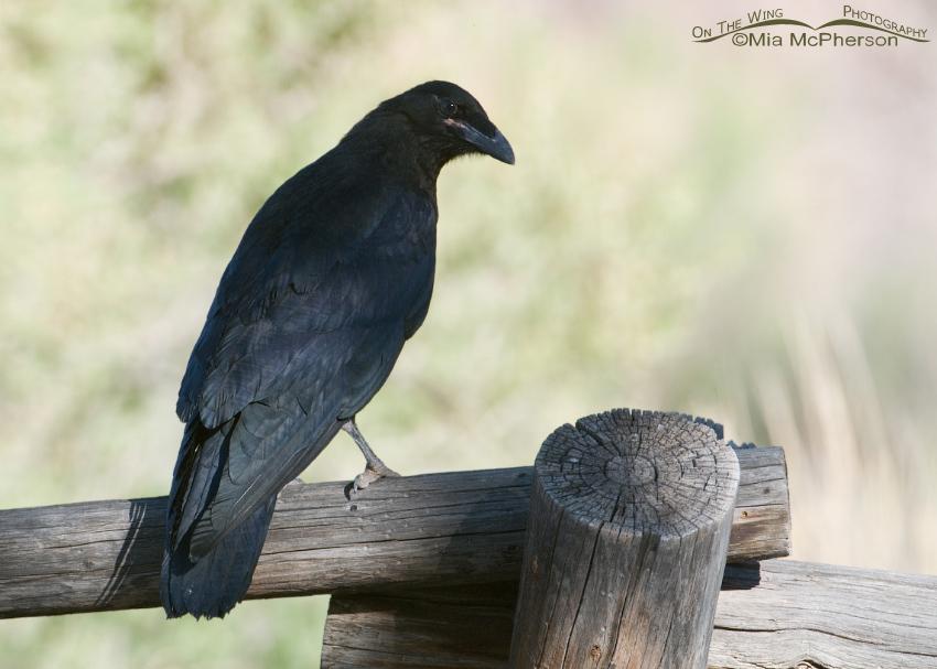 Juvenile Common Raven back view
