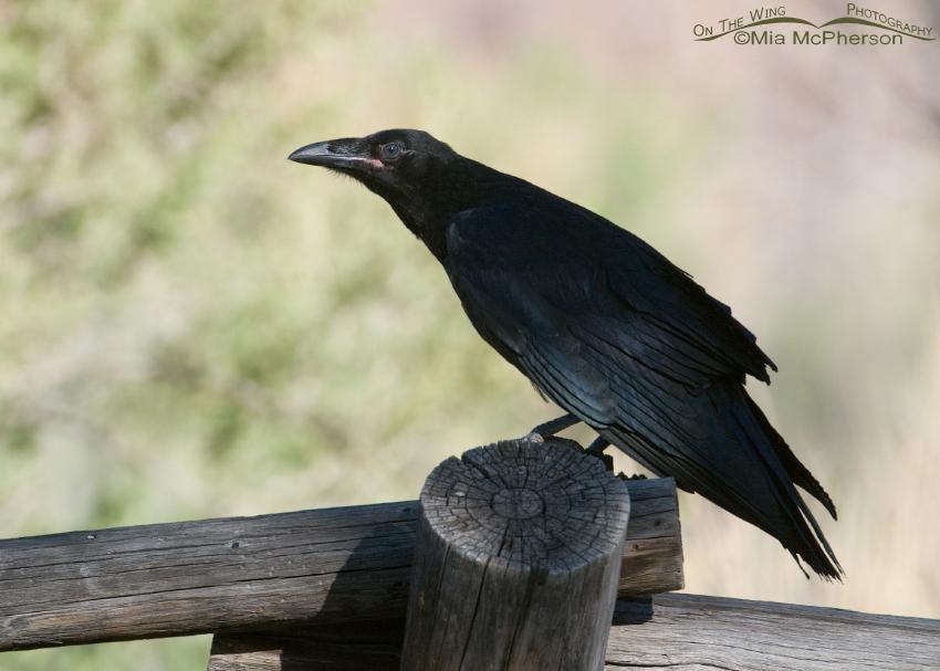 Common Raven juvenile near the San Rafael River