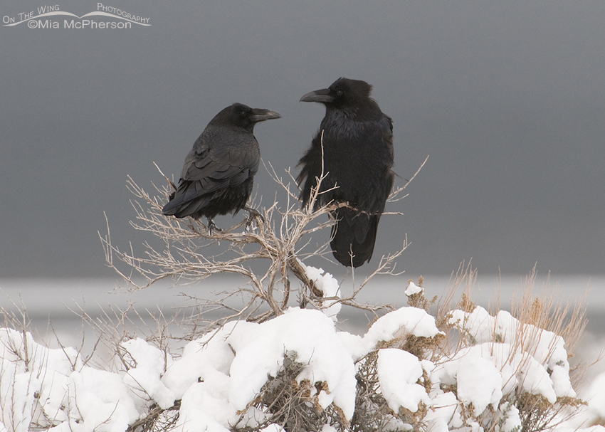 A pair of Common Ravens in a storm