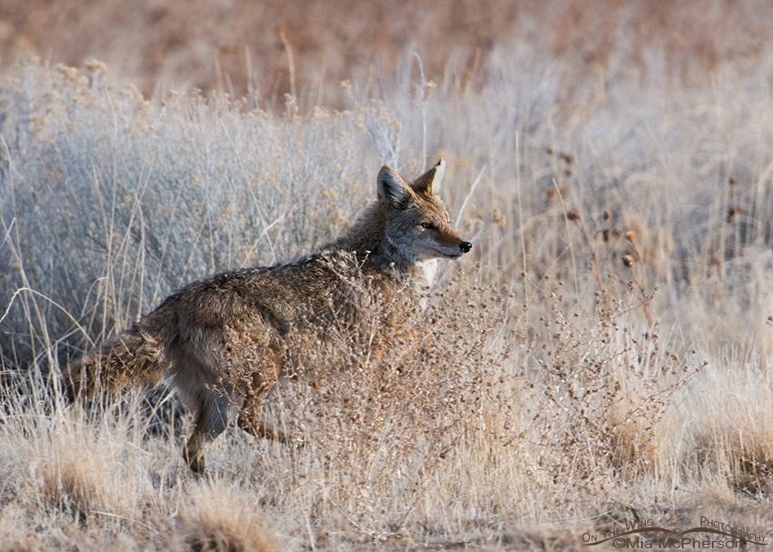 Coyote on the run ~ Friday Photos – Mia McPherson's On The ...  Coyote on the r...